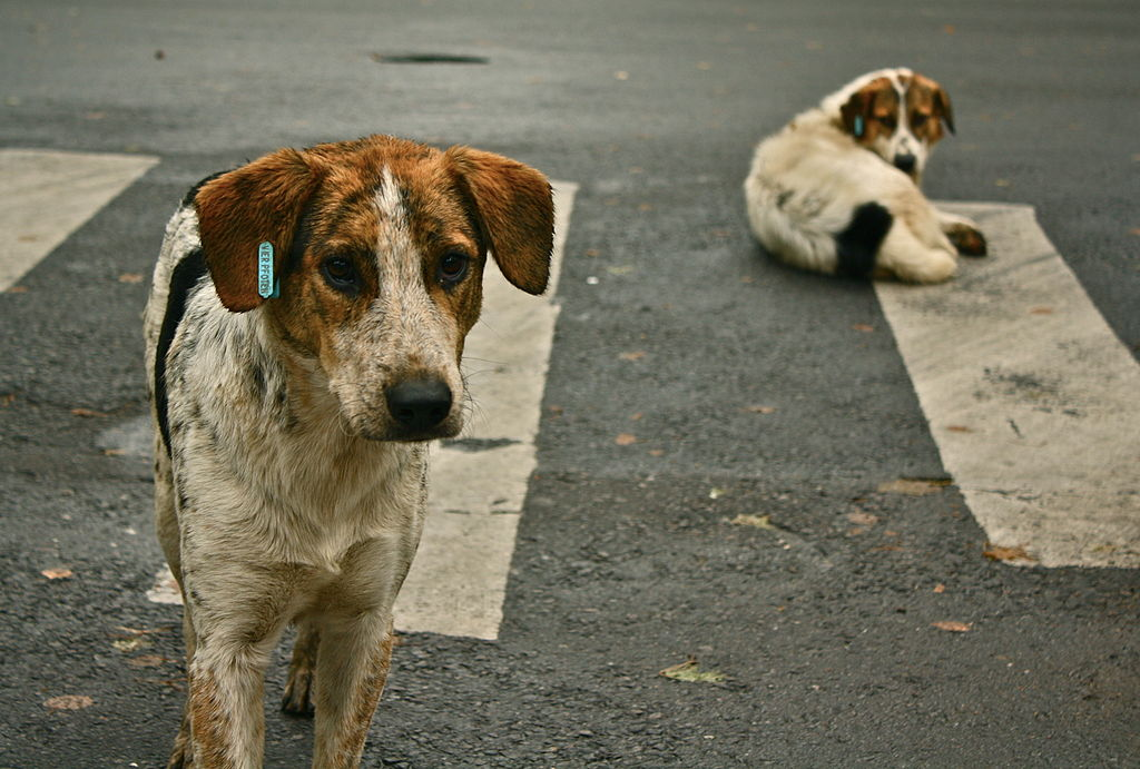 izvor https://commons.wikimedia.org/wiki/File:Stray_dogs_crosswalk.jpg